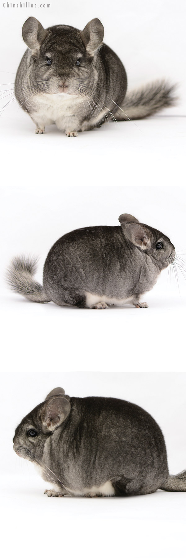20212 Blocky Premium Production Quality Standard Female Chinchilla