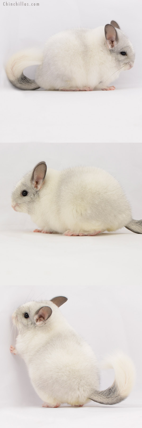 20231 Blocky Premium Production Quality White Mosaic Female Chinchilla