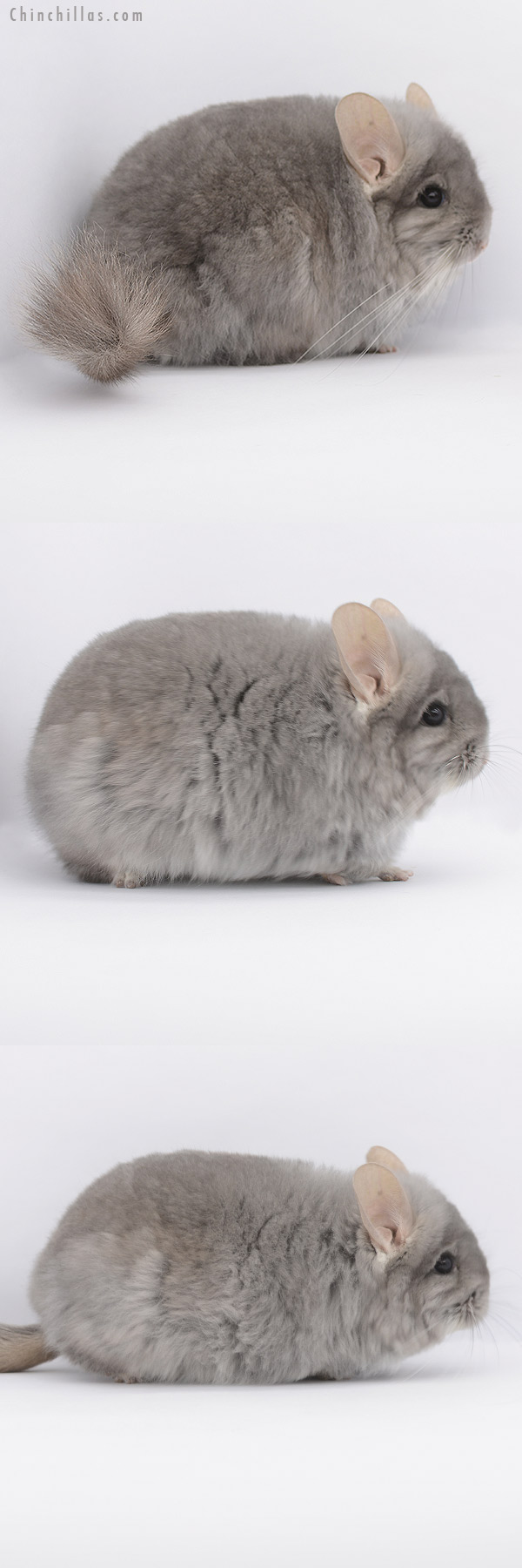 20346 Large Blocky Violet ( Ebony Carrier ) CCCU Royal Persian Angora Male Chinchilla