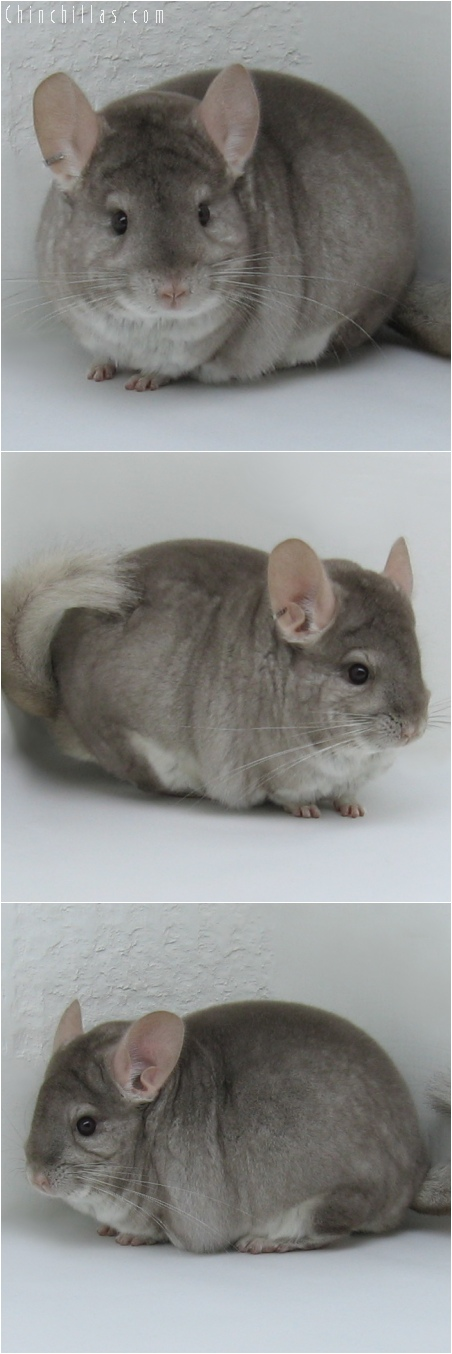 6084 Extra Large Premium Production Quality Beige Male Chinchilla