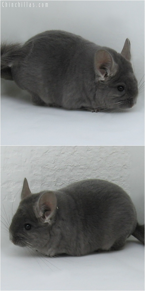 6145 Top Show Quality Violet ( Ebony Carrier ) Male Chinchilla