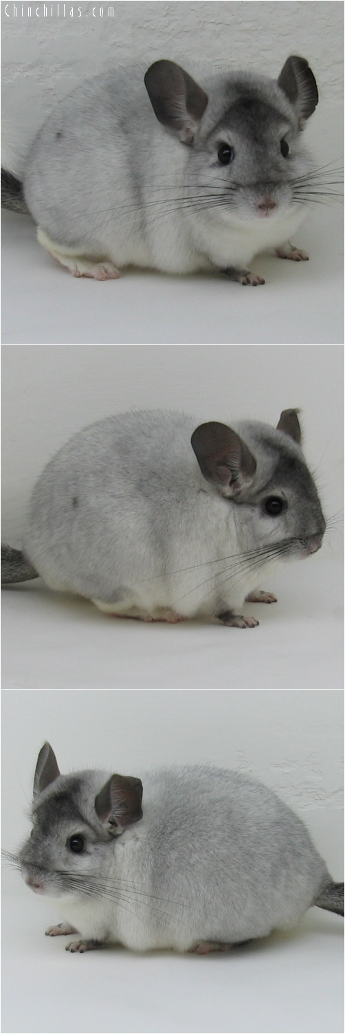 6167 Top Show Quality White Mosaic Male Chinchilla