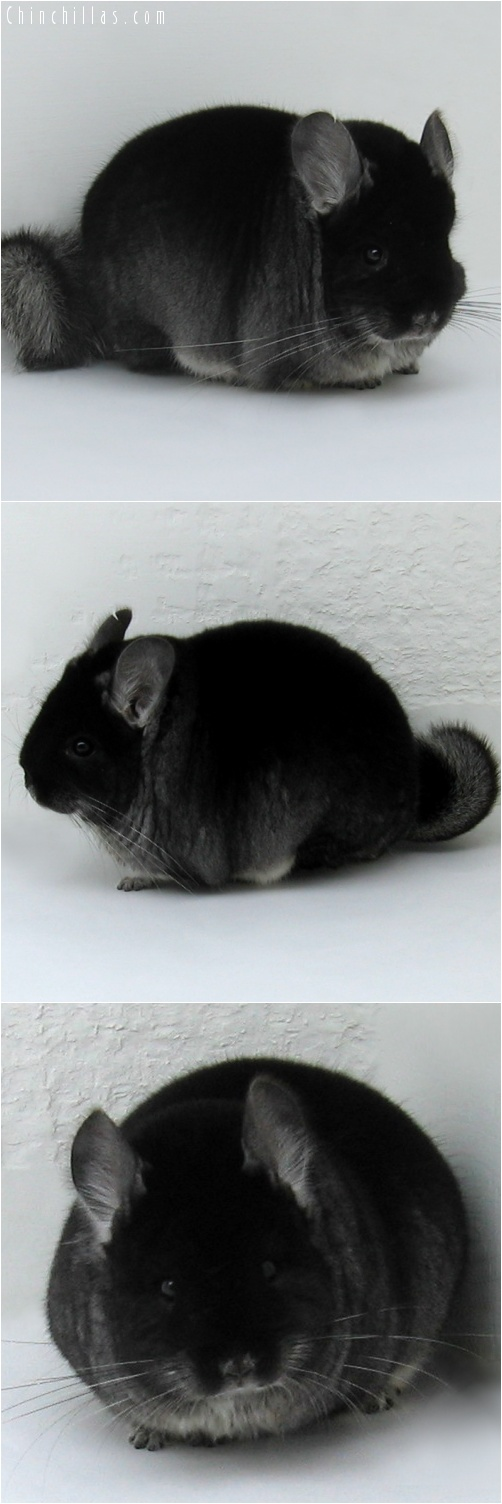 7128 Extra Large Herd Improvement Quality Black Velvet Male Chinchilla