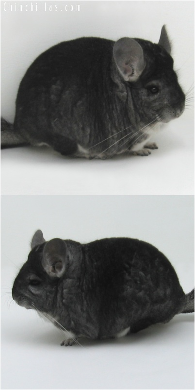 7123 Extra Extra Large Herd Improvement Quality Dark Standard Male Chinchilla