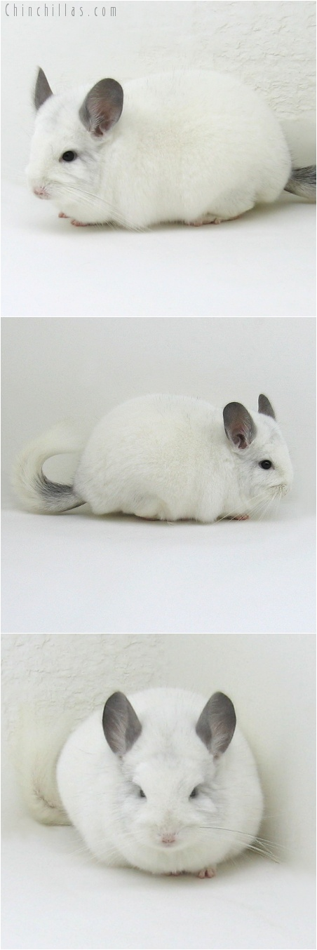 7206 Large Herd Improvement Quality Predominantly White Male Chinchilla