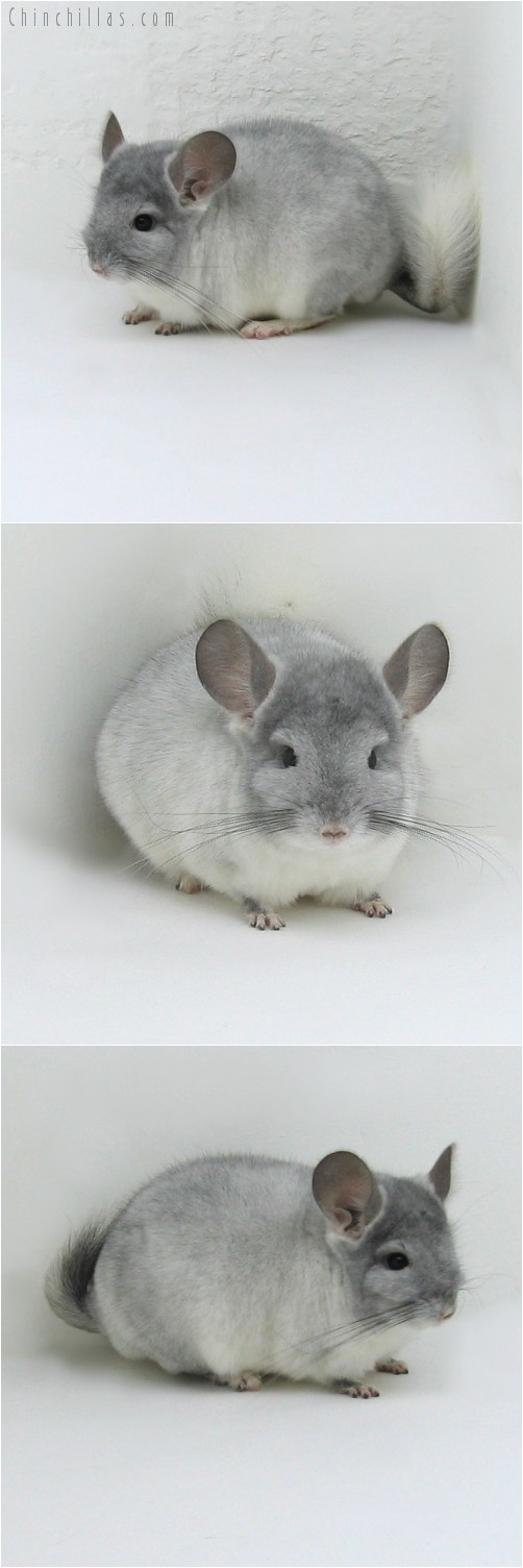 8084 Top Show Quality TOV Violet & White Male Chinchilla