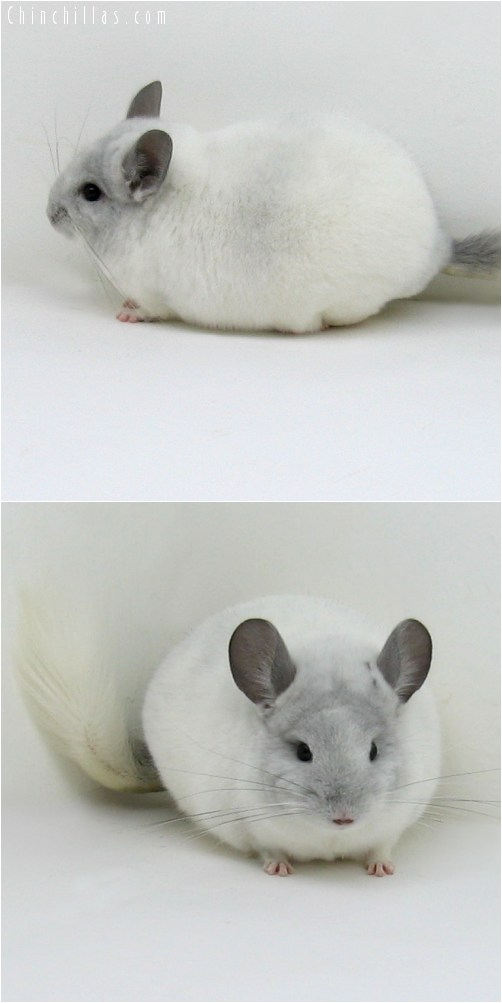 8073 Top Show Quality Violet & White Mosaic Male Chinchilla