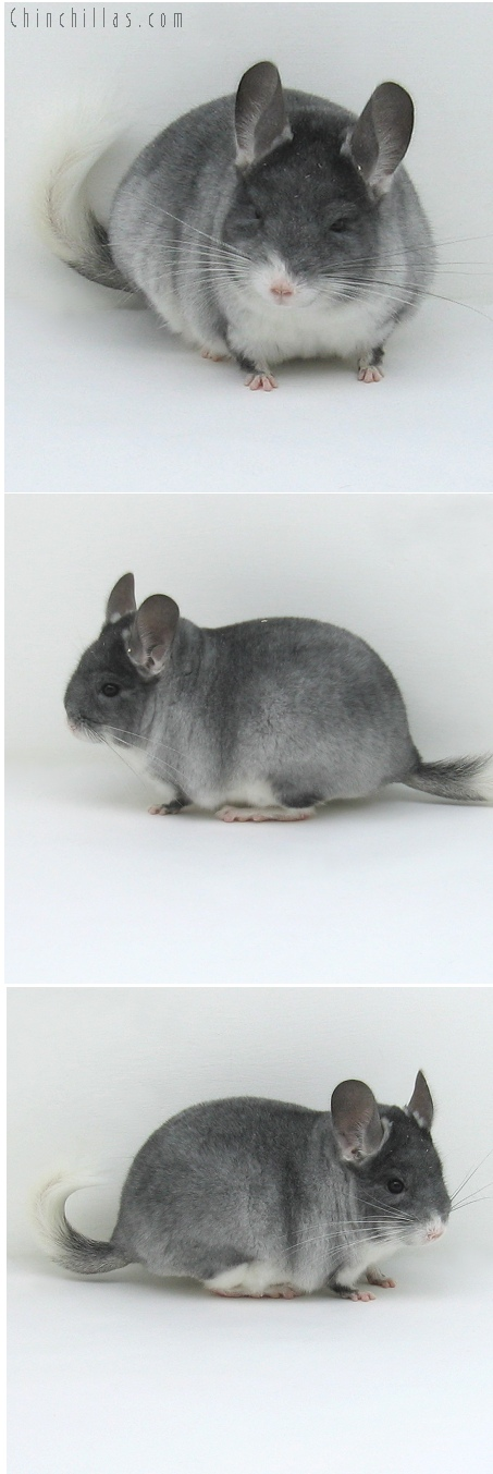 8048 Large Top Show Quality TOV White Male Chinchilla