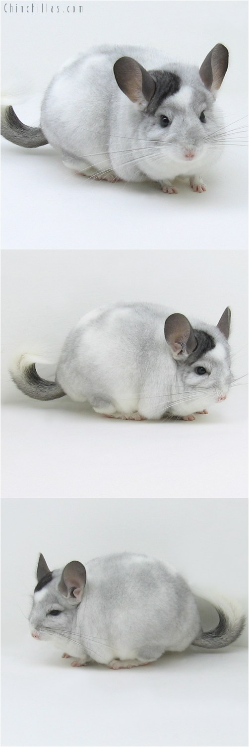 8133 Large Herd Improvement Quality Extreme White Mosaic ( Possible Ebony Carrier ) Male Chinchilla