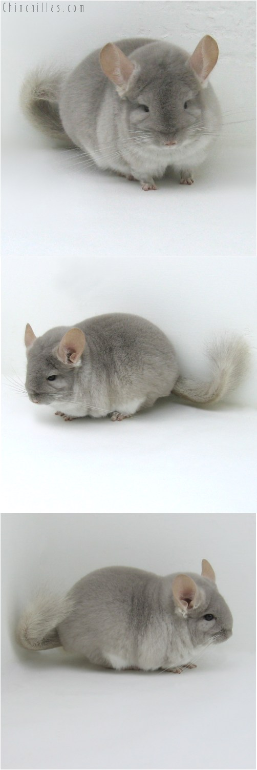 10056 Large, Blocky Herd Improvement Quality Beige/Violet Male Chinchilla