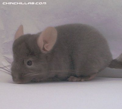 Homo ebony chinchilla