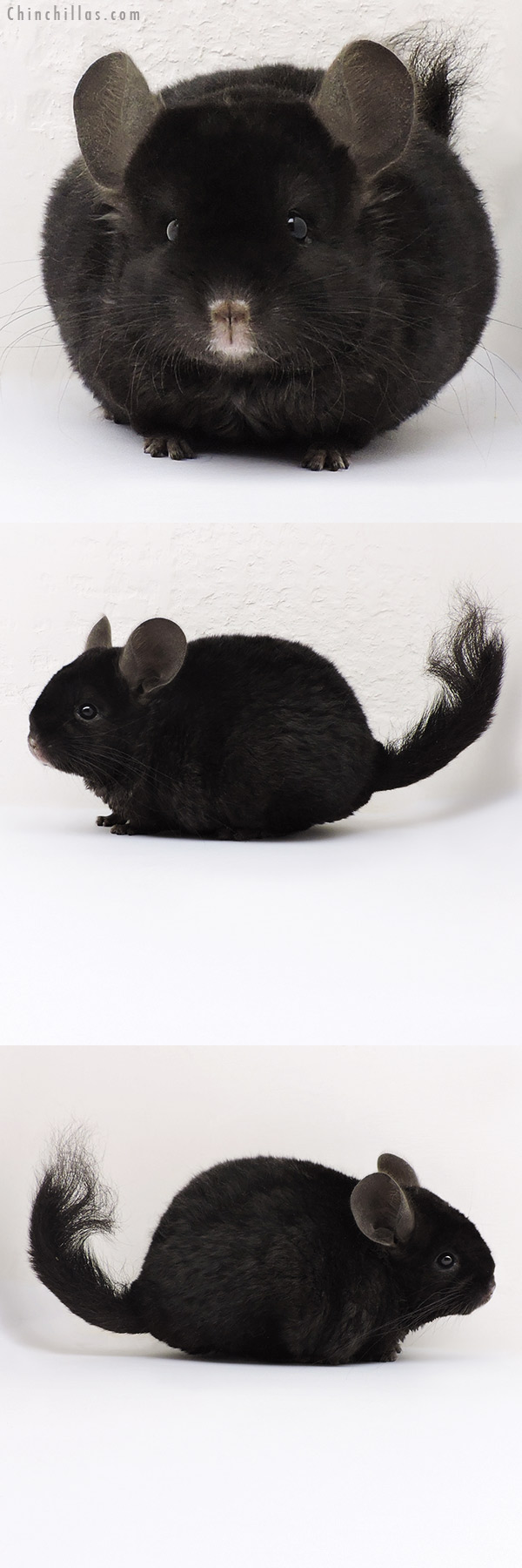 17184 Exceptional Ebony Locken Female Chinchilla