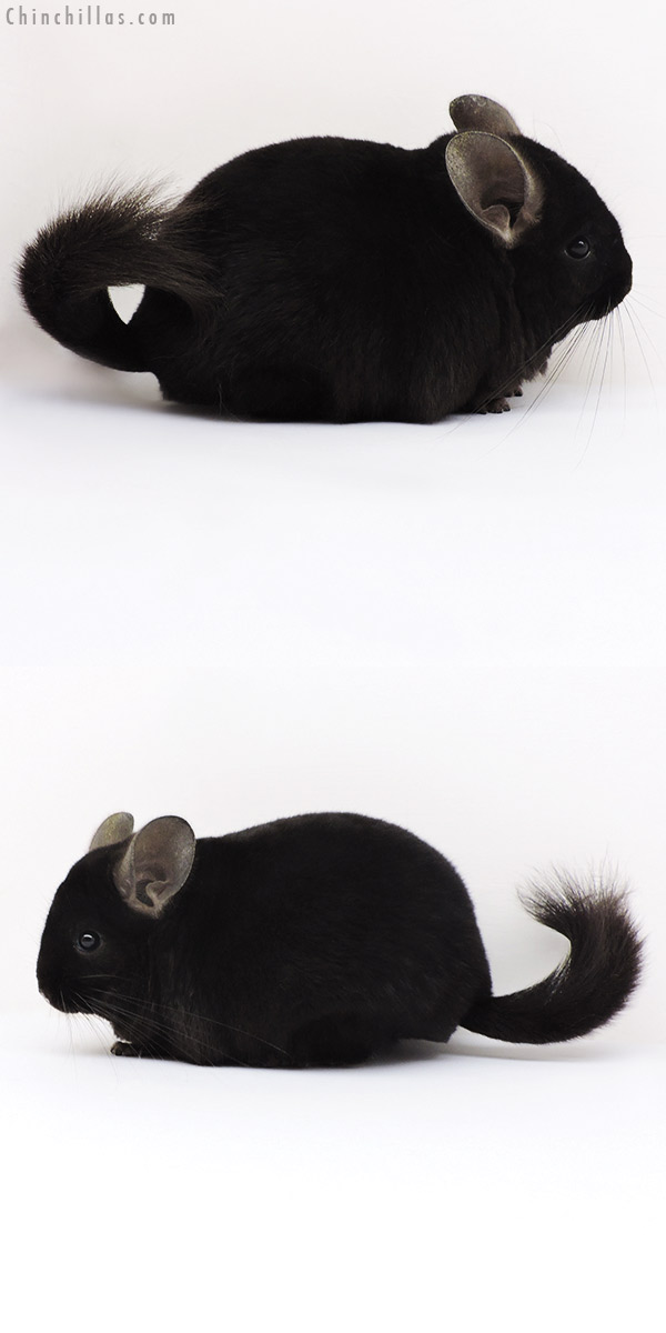 17230 Show Quality Ebony Male Chinchilla