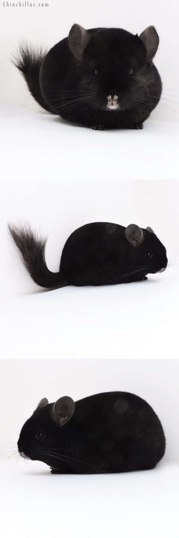 17358 Show Quality Ebony Male Chinchilla