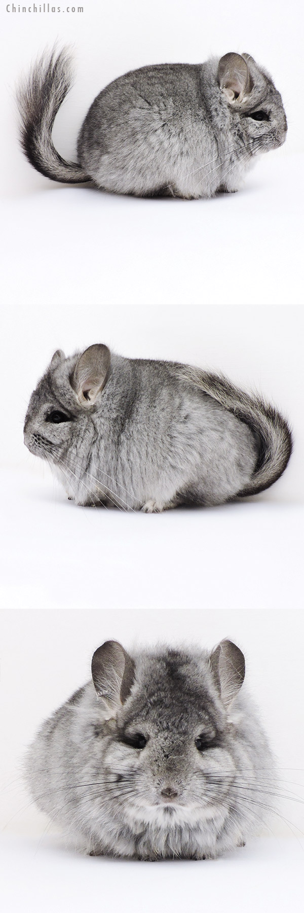17403 Exceptional CCCU Royal Persian Angora Female with Lion Mane Chinchilla