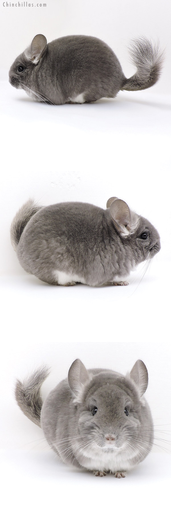 18035 Top Show Quality TOV Violet Male Chinchilla
