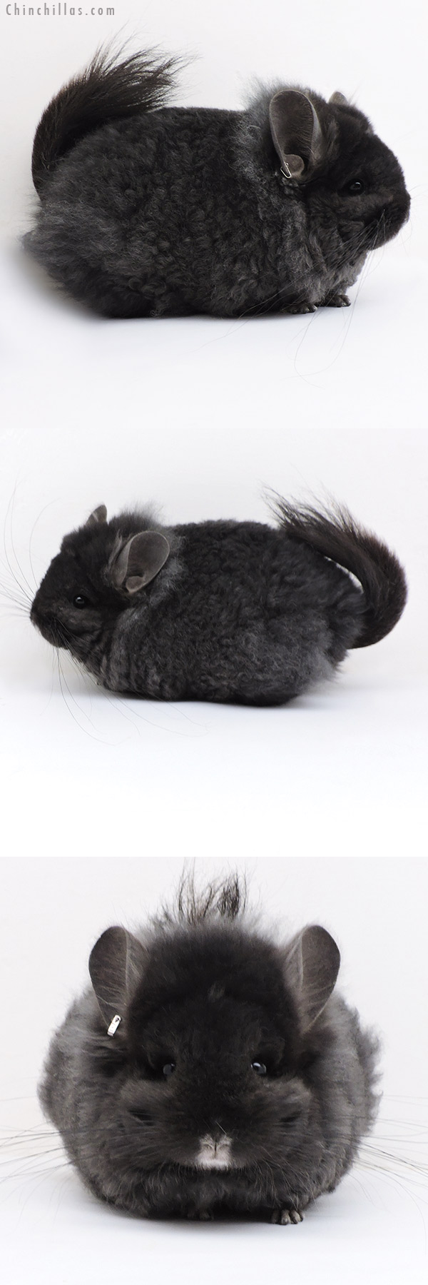 18047 Exceptional Blocky Ebony CCCU Royal Imperial Angora Female with Lion Mane Chinchilla