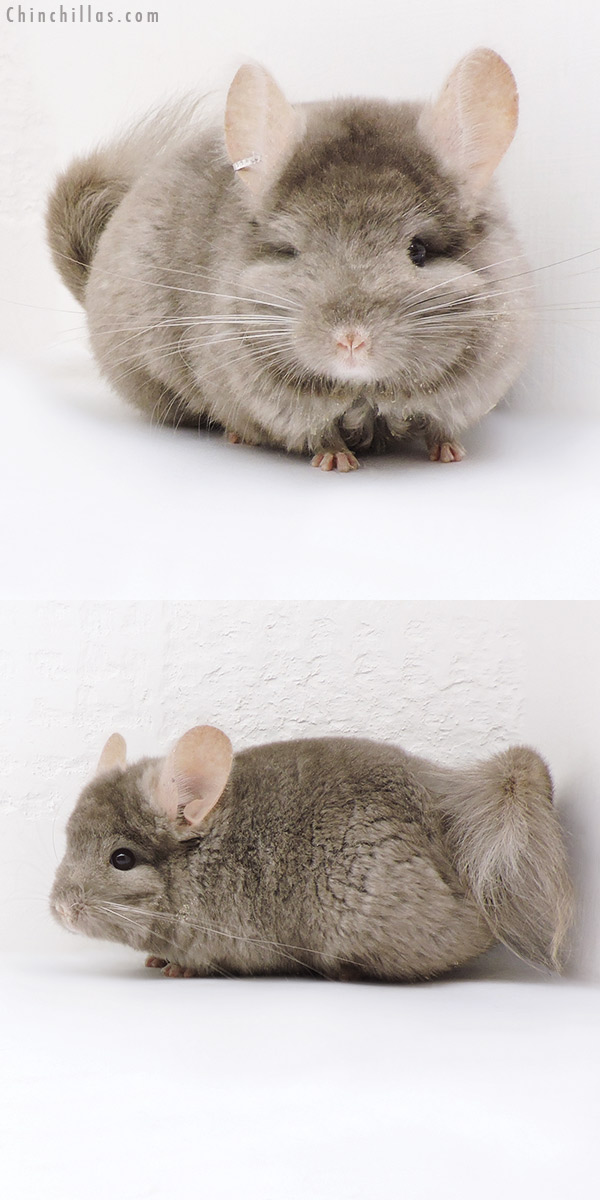18043 Tan CCCU Royal Persian Angora ( Locken Carrier ) Male Chinchilla
