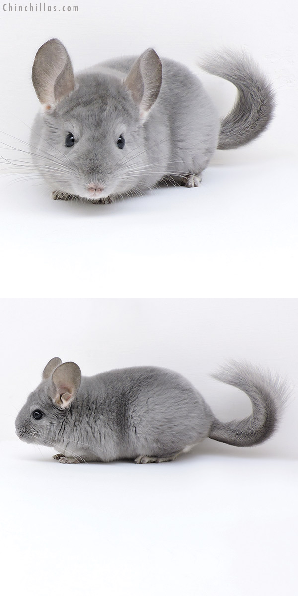 18033 Blue Diamond Male Chinchilla