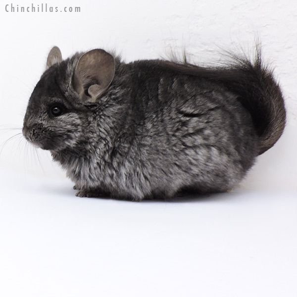 18087 Ebony CCCU Royal Persian Angora ( Locken Carrier ) Female Chinchilla