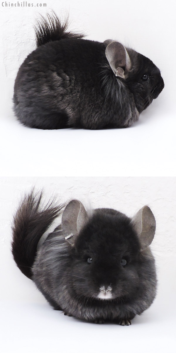 18074 Ebony CCCU Royal Persian Angora ( Locken Carrier ) Male with Ear Tufts Chinchilla