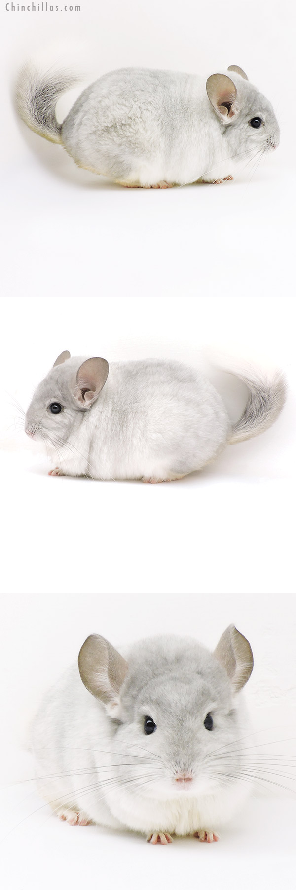 18110 Large Blocky Top Show Quality Violet & White Mosaic Male Chinchilla