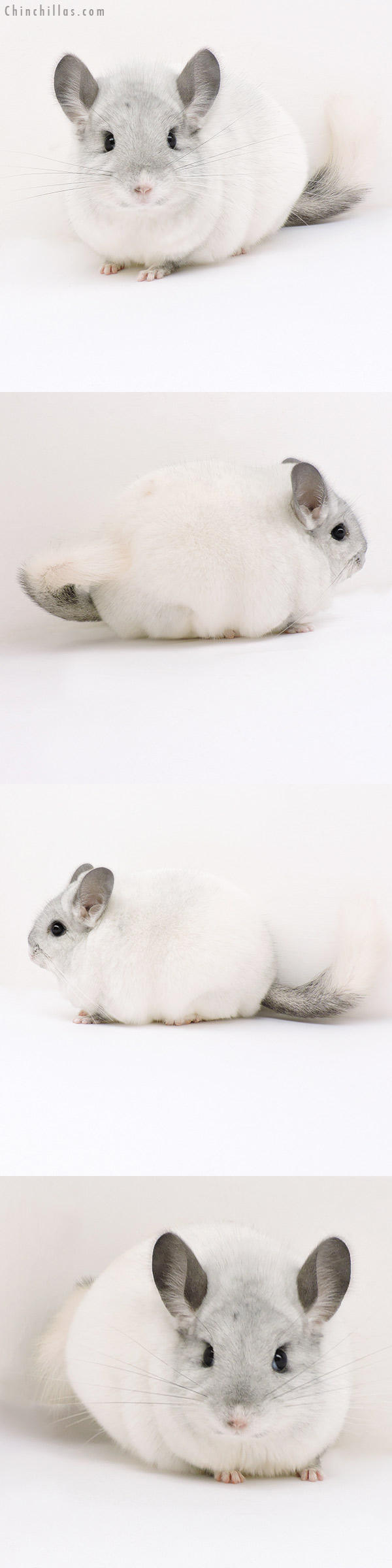 18154 Exceptional Blocky Premium Production Quality White Female Chinchilla