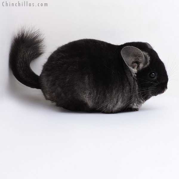 18155 Extra Large Blocky Top Show Quality TOV Ebony ( Violet Carrier ) Female Chinchilla