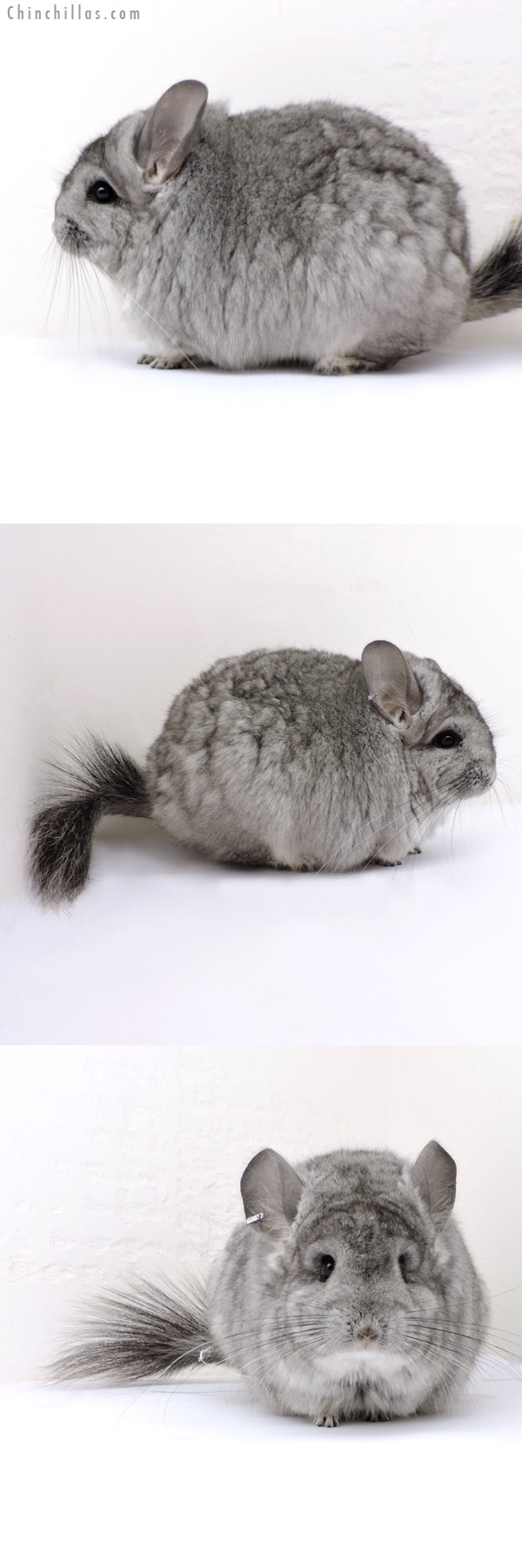 18162 Exceptional Blocky Standard CCCU Royal Persian Angora Female Chinchilla