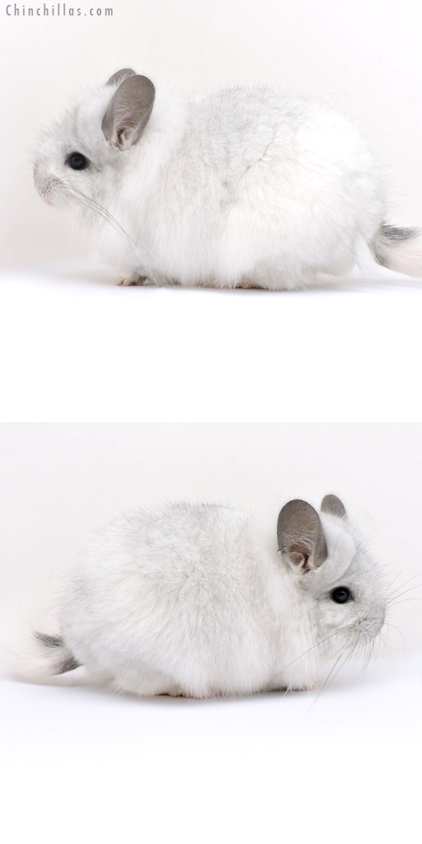 18161 Exceptional White Mosaic CCCU Royal Persian Angora Female Chinchilla