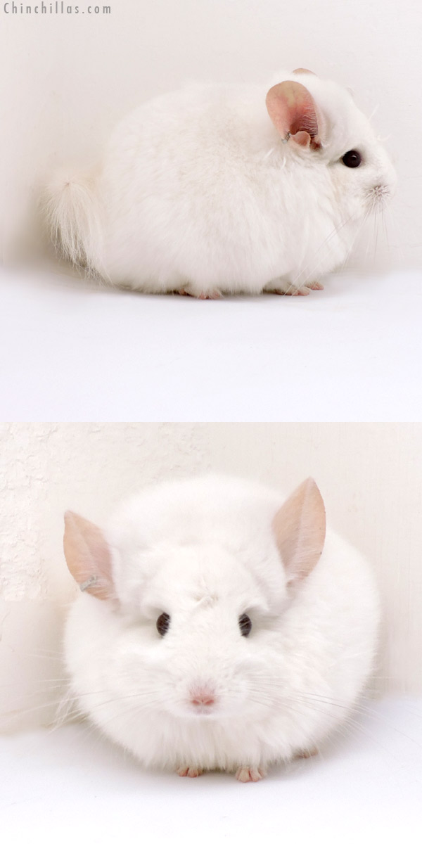 18166 Exceptional Pink White CCCU Royal Persian Angora Male Chinchilla