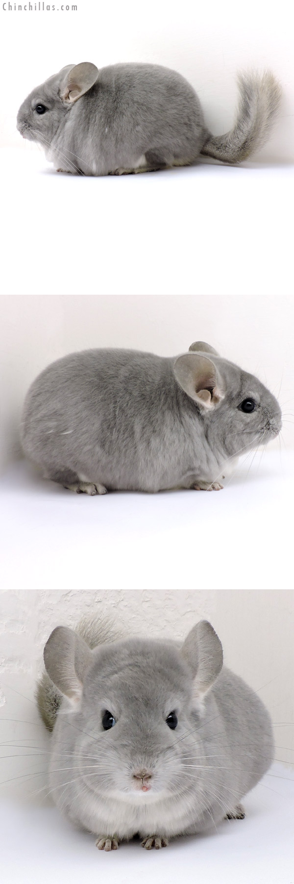 18168 Large Blocky Premium Production Quality Blue Diamond Female Chinchilla