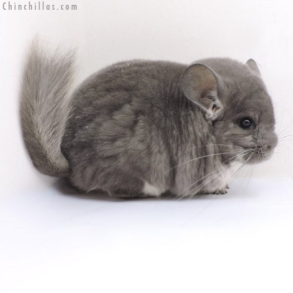 18163 Large Blocky Show Quality Violet Female Chinchilla