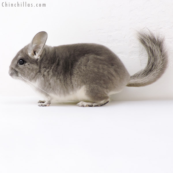 18264 Violet ( CCCU Royal Persian Angora Carrier ) Female Chinchilla