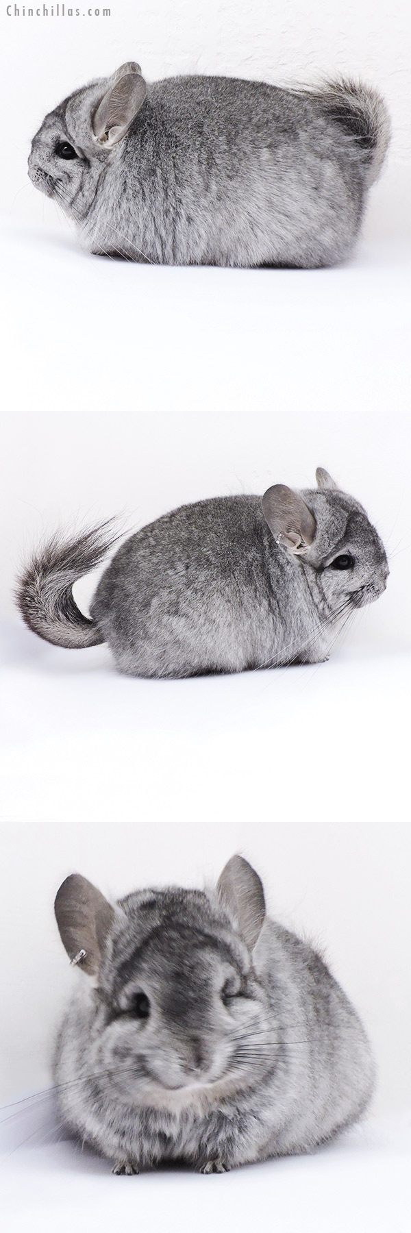19092 Blocky Standard ( Ebony & Locken Carrier ) CCCU Royal Persian Angora Female Chinchilla
