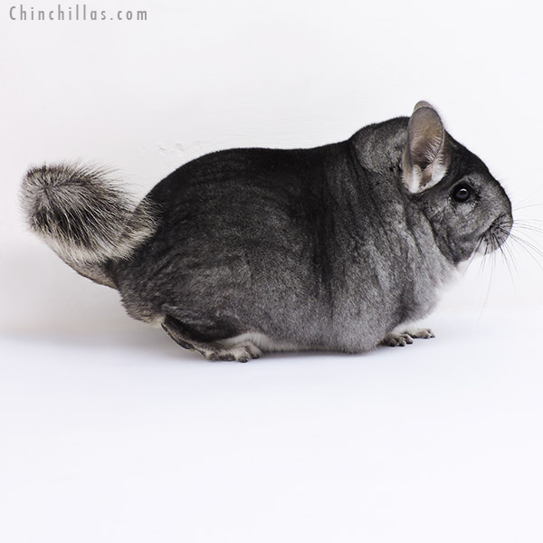 19096 Large Blocky Premium Production Quality Standard Female Chinchilla
