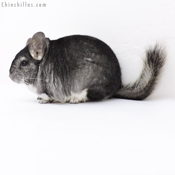 19142 Large Standard Female Chinchilla