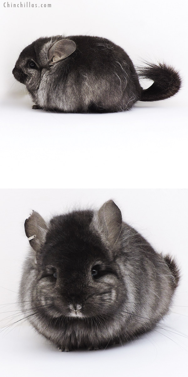 19132 Charcoal ( Locken Carrier ) CCCU Royal Persian Angora Female Chinchilla