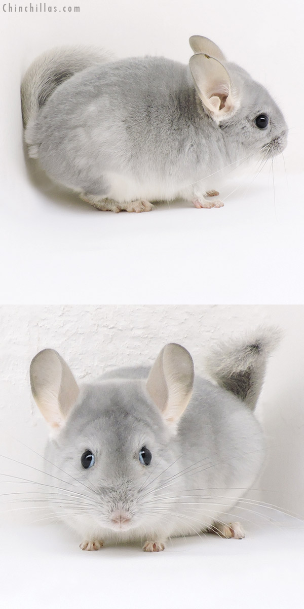 19163 Top Show Quality Blue Diamond Male Chinchilla
