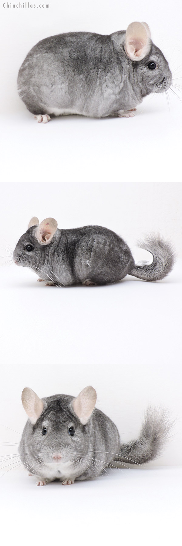 19170 Blocky Premium Production Quality Sapphire ( Violet Carrier ) Female Chinchilla