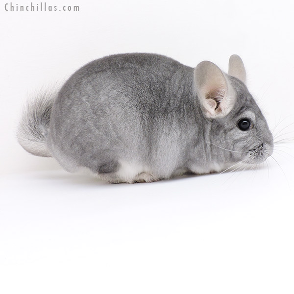 19171 Show Quality Sapphire ( Violet Carrier ) Female Chinchilla
