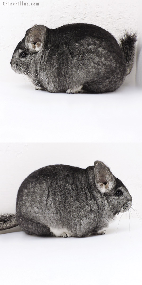 19181 Extra Large Blocky Premium Production Quality Standard Female Chinchilla