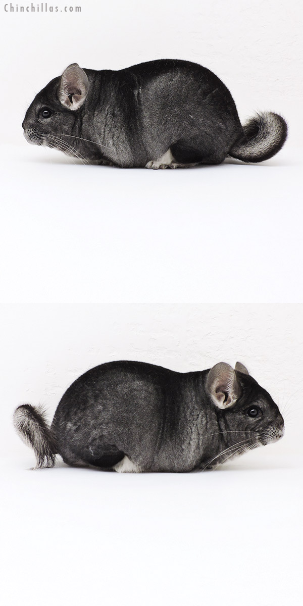 19193 Large Premium Production Quality Standard Female Chinchilla