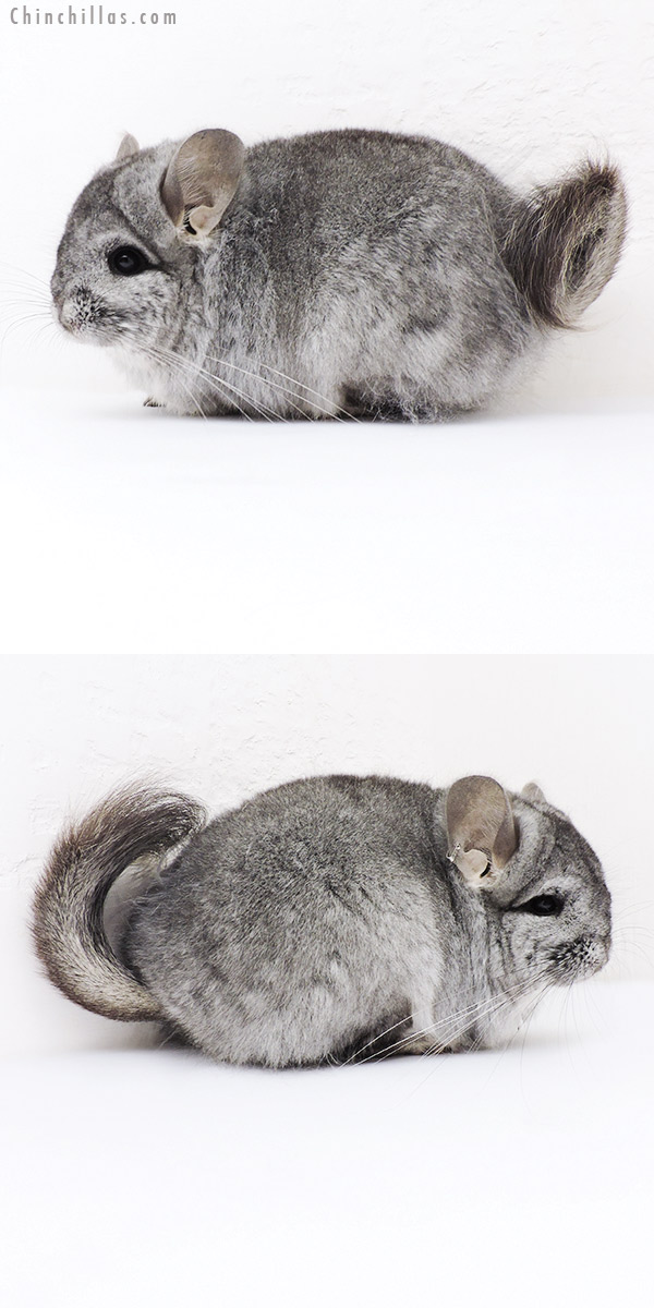 19201 Standard CCCU Royal Persian Angora Female Chinchilla
