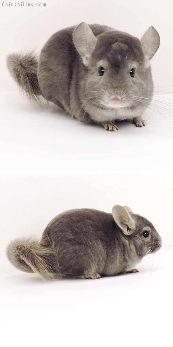 19274 Herd Improvement Quality Wrap Around Violet Male Chinchilla