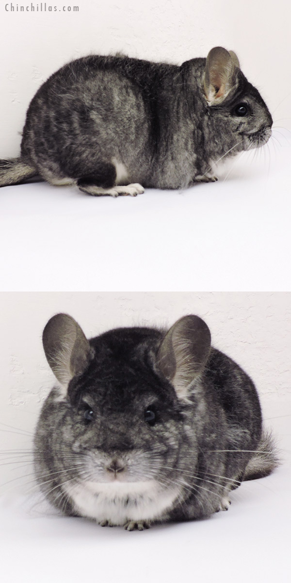 19267 Extra Large Premium Production Quality Standard Female Chinchilla