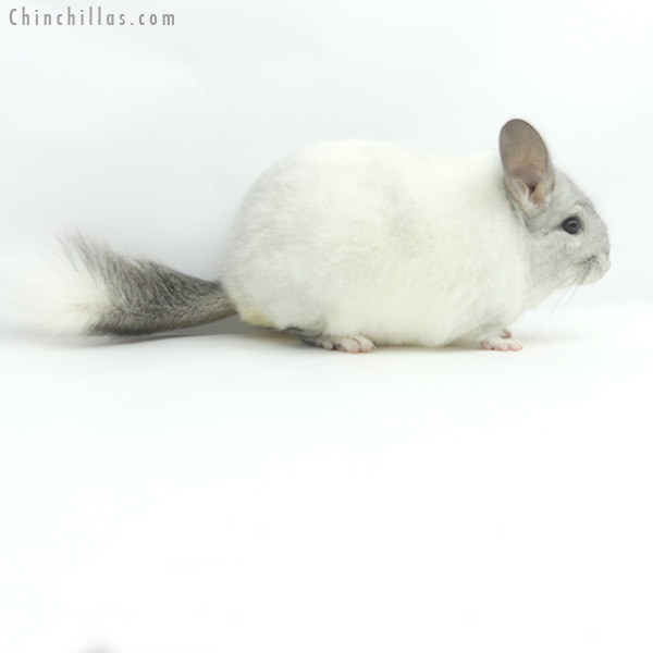 19372 Herd Improvement Quality White Mosaic Male Chinchilla