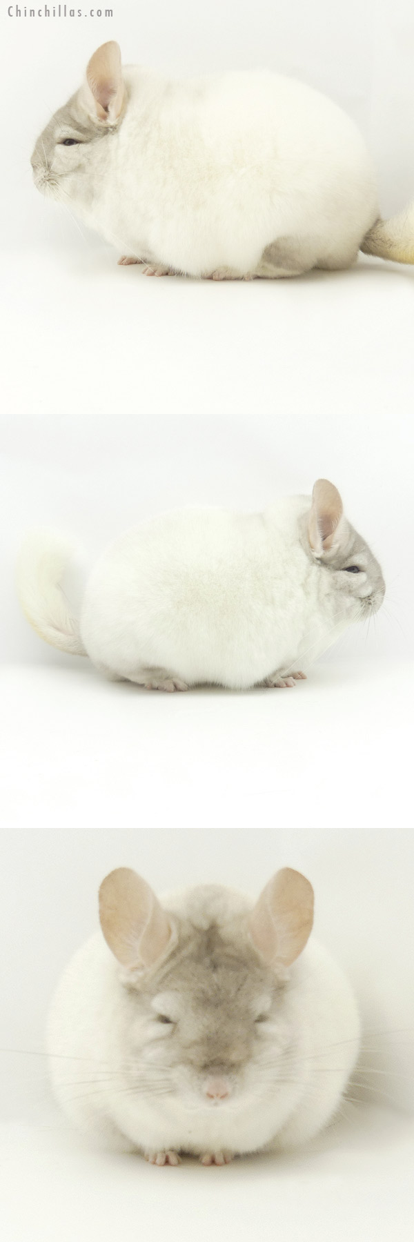 19371 Large Blocky Herd Improvement Quality Section Champion Pink White Male Chinchilla