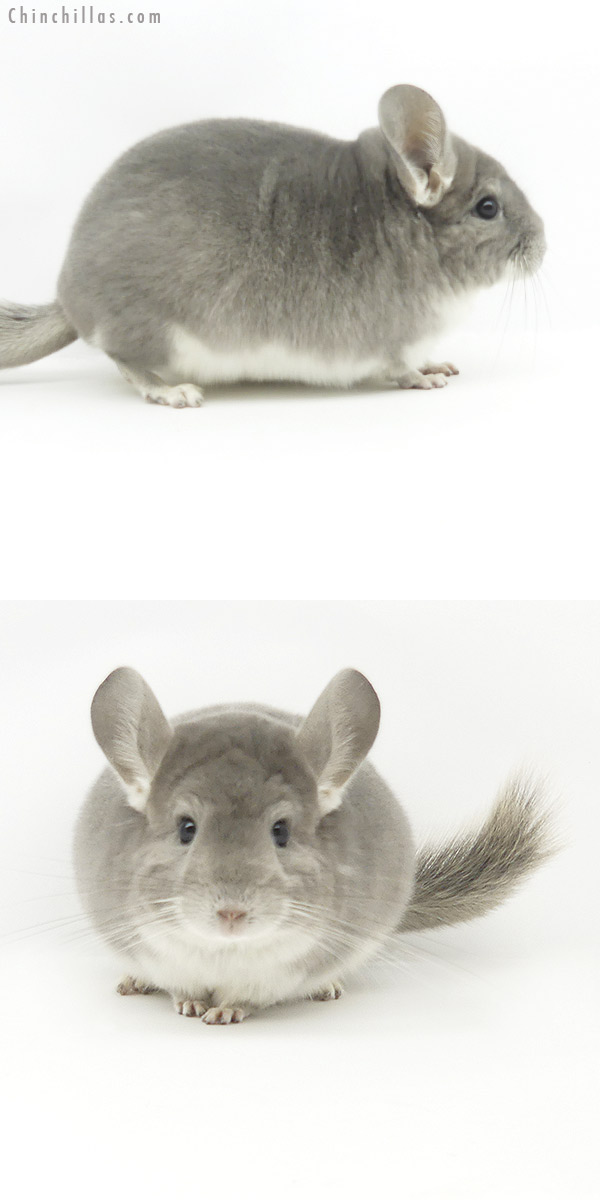 19377 Top Show Quality Violet Male Chinchilla