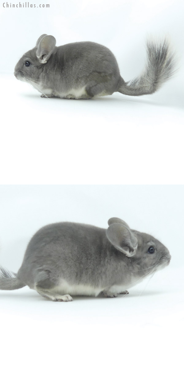 19378 Show Quality Violet Male Chinchilla